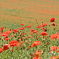 Many Poppies by Anne Gilbert