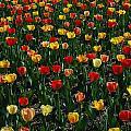 Many Tulips by Raymond Salani III