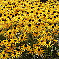 Many Yellow Blooms by Eunice Miller