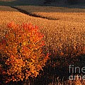 Maple And Cornfield At Dawn by Larry Ricker