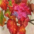 Maple Colors by Susan Capuano