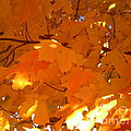 Maple Gold by Jessi and James Gault