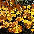 Maple Gold by Valerie Kirkwood