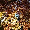 Maple In Fall by Kaija Ogan