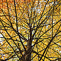 Maple by John Crothers
