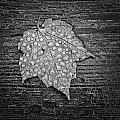 Maple Leaf Covered In Dew by Jeff Sinon