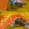 Maple Leaf Edges In Autumn by Anna Lisa Yoder