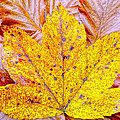 Maple Leaf In Fall by M Bleichner