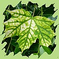 Maple Leaf In The Laurel by Will Borden