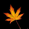 Maple Leaf On Black by Sharon Talson