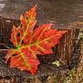 Maple Leaf On Oak Stump by Paul Freidlund