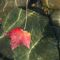Maple Leaf On Water by Mick Anderson