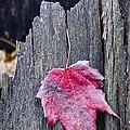 Maple Leaf - Uw Arboretum - Madison by Steven Ralser