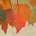 Maple Leaves by Angie Vogel
