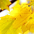 Maple Leaves At Autumn Glory 1 by Jenny Rainbow