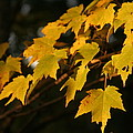 Maple Leaves - B by Jesse  Chitwood