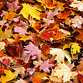 Maple Leaves by Bob Phillips