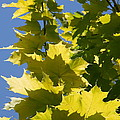 Maple Leaves  by Christiane Schulze Art And Photography