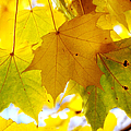 Maple Leaves In Autumn Glory by Jenny Rainbow