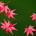 Maple Leaves by Kathryn Meyer