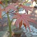 Maple Leaves by Lorna Hooper