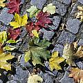 Maple Leaves On Stones by Aleksandr Volkov