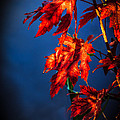 Maple Leaves Shadows by Robert Bales