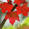 Maple Leaves Show Off Their Autumn Hues by Robert L. Potts