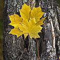 Maple-leaves by Vitaly Kozlovtsev