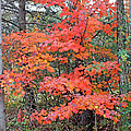 Maple Rush In The Fall by Duane McCullough