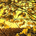 Maple Sunset - Paint by Steve Harrington