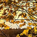 Maple Sunset by Steve Harrington