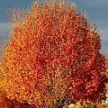 Maple Tree by Cynthia Guinn