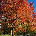 Maple Trees by Brian Jannsen