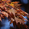 Maples In Spring 2013 by Maria Urso