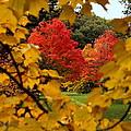 Maples In View by Rosanne Jordan