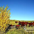 Marabou Cattle Herd by Gerald Blaine