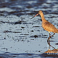 Marbled Godwit At Sunset by Bryan Keil