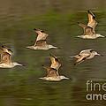 Marbled Godwit Flock Flying by Anthony Mercieca