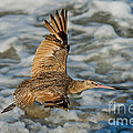 Marbled Godwit Flying Over Surf by Anthony Mercieca