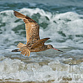 Marbled Godwit Over Surf by Anthony Mercieca