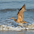 Marbled Godwit Taking Off On Beach by Anthony Mercieca