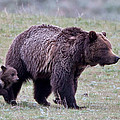 Marching Mama Grizzly And Cub  by Natural Focal Point Photography