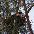 Marco Eagle - Protecting Its Nest by Ronald Reid