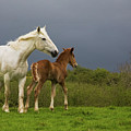 Mare And Foal, Co Derry, Ireland by Animal Images
