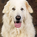 Maremma Sheepdog by John Daniels