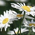 Marguerite Blossom by Heiko Koehrer-Wagner