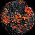 Marigold Fire by Tim G Ross
