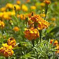 Marigold Flowers by Jason O Watson
