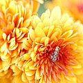 Ailanthus Webworm Visits The Marigold  by Optical Playground By MP Ray
